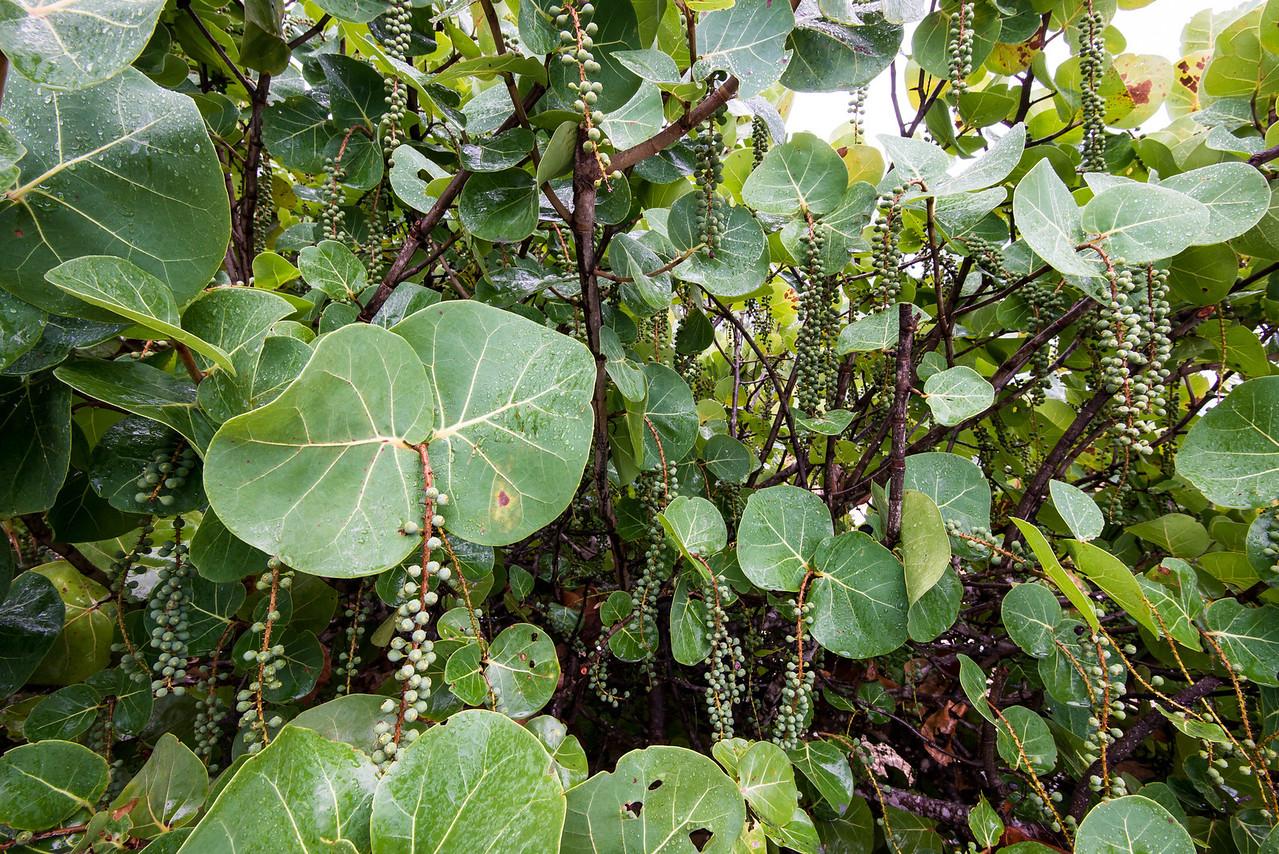 Grape Seeds seen along the walk toward the Salt Mills - February 2014