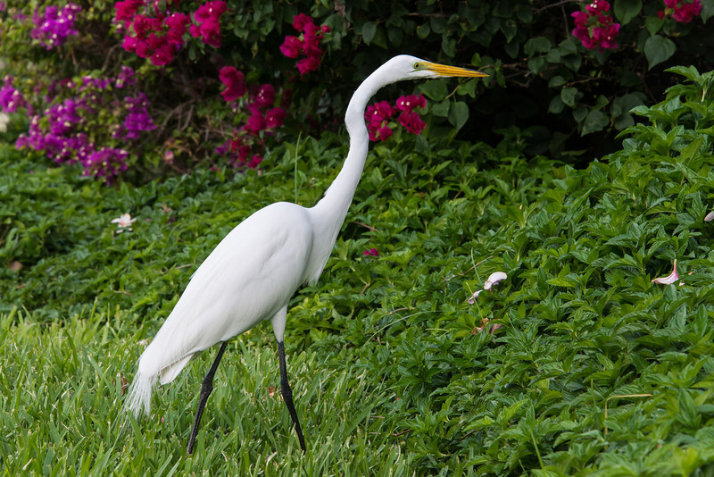 Great Egret at The Sands resort, Turks and Caicos - February 2014- February 2014