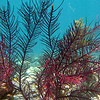 Purple fern coral