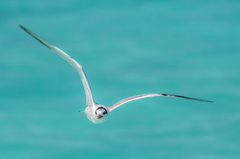 A Royal Tern