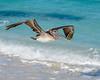 A Brown Pelican cruises the beach