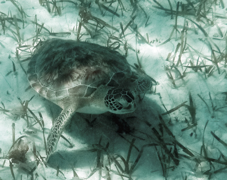This guy was in the grassy area next to Coral Gardens snorkeling area.