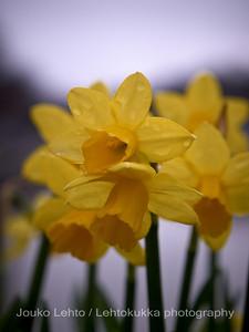 Turku, Åbo. Kevät - Spring . Narsissit - Narcissos.