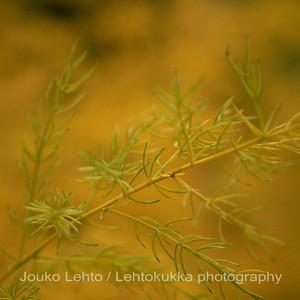 Parsa (Asparagus scoperioides) - Asparagus