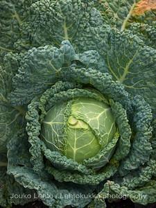 Kaali ((Brassica oleracea) - Cabbage