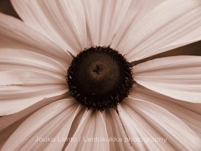 Kesäpäivänhattu ( Rudbeckia hirta) - Goldilocks Gloriosa Daisy