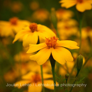 Samettikukka (Tagetes) - Marigold