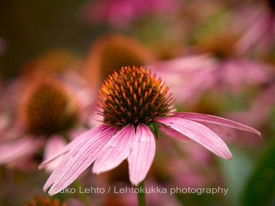 Punahattu (Echinacea purpurea) - Eastern purple coneflower