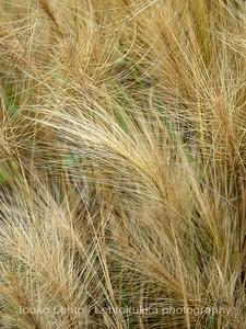 Hordeum jubatum - Foxtail barley
