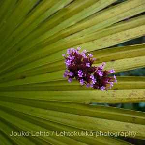 Jättiverbena (Verbena bonariensis) - Purpletop verbena ja / and kuitupalmu (thrinax acanthocoma) - Spiny Fiber Palm