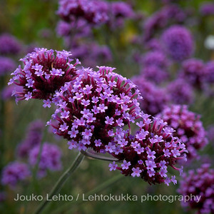 Jättiverbena (Verbena bonariensis) - Purpletop Vervain