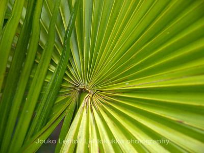 Kuitupalmu (thrinax acanthocoma) - Spiny Fiber Palm