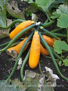 Kurpitsa (Cucurbita pepo) - Pumpkin