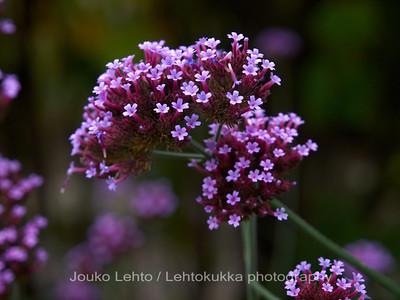 Jättiverbena (Verbena bonariensis) - Purpletop verbena