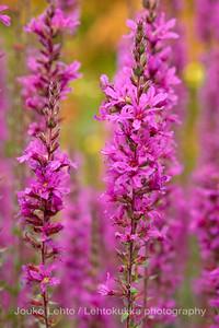 Rantakukka (Lythrum salicaria) - Purple loosestrife