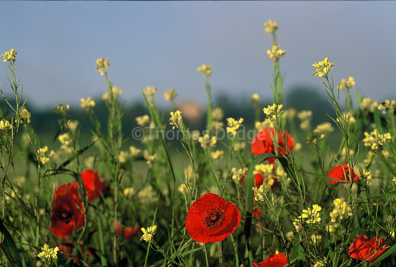 Tuscany Poppies.