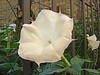 Datura  (Current name: Brugmansia) - highly poisonous but beautyiful.