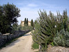 The main villa of Torre a Cona up the hill, framed by huge rosemary bushes and lavender.