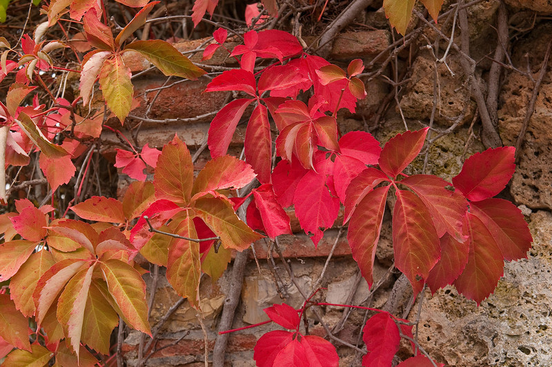 Brightly colored leaves signal the onset of Autumn.  The ancient walls and stone buildings were often covered with flora such as these.