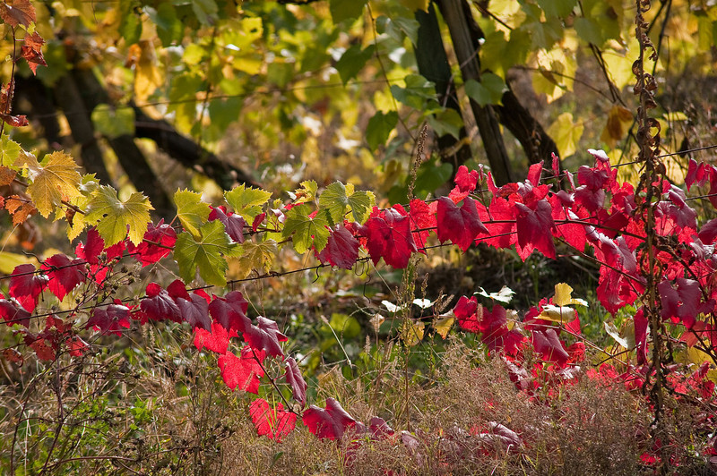 Leaves on the grape vines taking on their autumn colors - a small local vineyard in Tuscany.