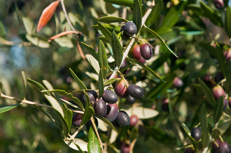 A fundamental truth - ripe olives just off the tree are not the same as ripe olives out of a can...