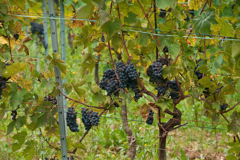 Grapes on a small vineyard in the Chianti region of Tuscany.