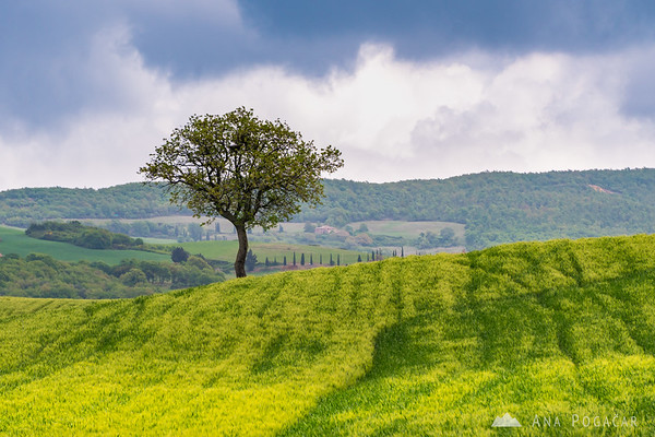 A tree in Val d'Orcia