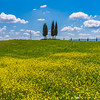 Cypresses in Val d'Orcia