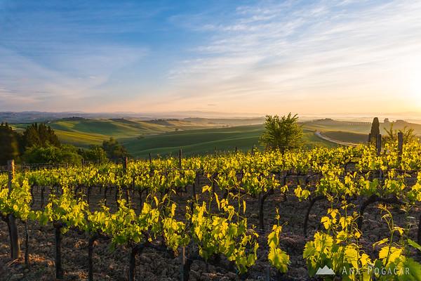 Vineyards and rolling hills of Villa di Corsano