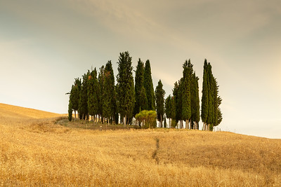 Group of cypresses, San Quirico d´Orcia,  Tuscany, 2014