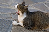 Yawning cat in Vertine, Chianti region of Tuscany, Italy