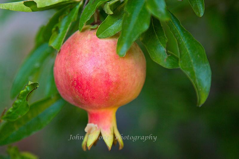 Pomegranate, Castell di Volpaia, Chianti region of Tuscany, Italy