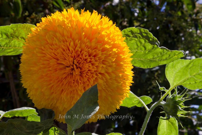 Sunflower, Castell di Volpaia, Chianti region of Tuscany, Italy
