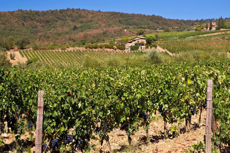 Vineyard with grapes ready for harvest near Radda, Chianti region of Tuscany, Italy