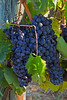 Grapes on vine ready for harvest, Chianti region of Tuscany, Italy