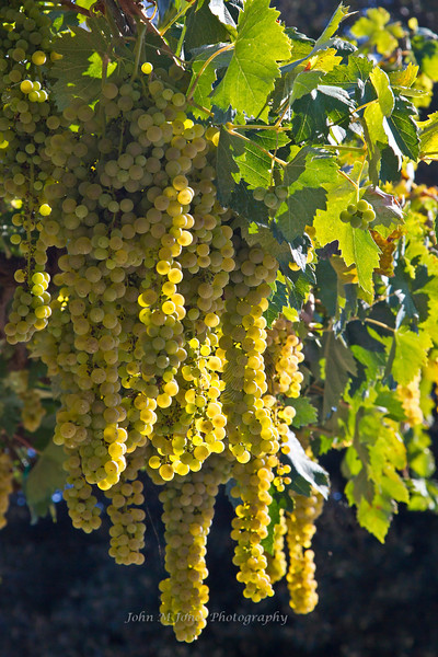 White grapes on vine, Chianti region of Tuscany, Italy