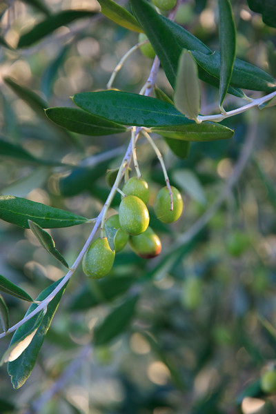 The olives in the grove next to the inn were just beginning to ripen for the late November harvest.