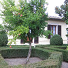 Pomegranate tree in front of our second hotel, Villa Curina, in the countryside East of Siena