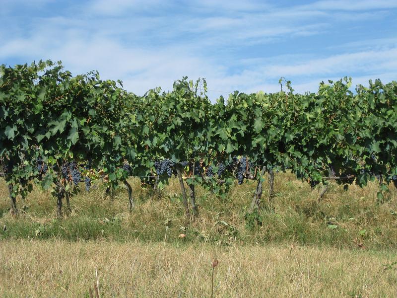 Presumably Brunello grapes alongside the long climb up to Montalcino
