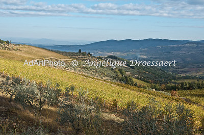 Olive Groves and Vinyards, Chianti