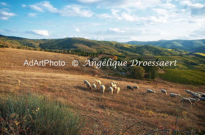 The Lord is my shepherd... walking in the Chianti region on an early morning, in the vicinity of Villa Le Barone...