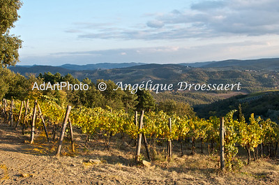 The fall weather is turning the color of the vines, Chianti