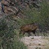 Javalina crossing the trail