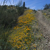 Mexican Poppies along the trail