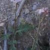 Rock Mustard (Dryopetalon runcinatum)