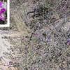 Santa Catalina Prairie Clover (Dalea pulchra)