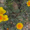 Mexican Poppy (Eschscholzia californica ssp. mexicana)