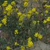 Gordons Bladderpod (Lesquerella gordonii)