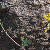 Golden Smoke or Scrambled Eggs (Corydalis aurea)
