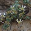 Ragged Rockflower (Crossosoma bigelovii)